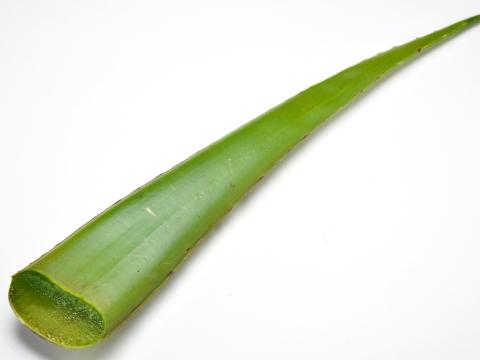 庫拉索蘆薈